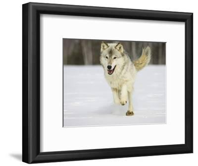 Gray Wolf (Canis Lupus) Running in the Snow, Northern Minnesota, USA