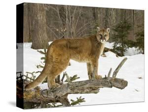 6547dd30d65f Beautiful Mountain Lions   Pumas canvas artwork for sale