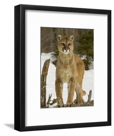 Mountain Lion (Felis Concolor) Standing on a Log