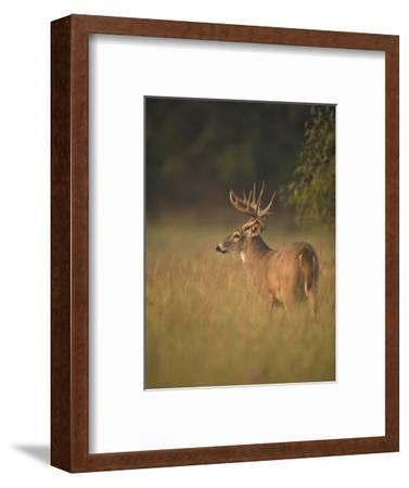 White-Tailed Deer (Odocoileus Virginianus) Grazing, Texas, USA