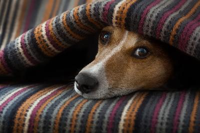 Jack Russell Dog Sleeping under the Blanket in Bed Daydreaming Sweet Dreams-Javier Brosch-Photographic Print