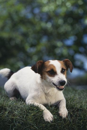 Jack Russell Terrier Baring Teeth-DLILLC-Photographic Print