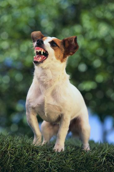 Jack Russell Terrier Bearing its Teeth-DLILLC-Photographic Print