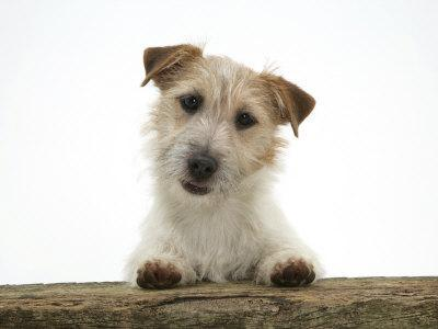 https://imgc.artprintimages.com/img/print/jack-russell-terrier-bitch-with-paws-up-looking-over-a-rail_u-l-q10nyjs0.jpg?p=0