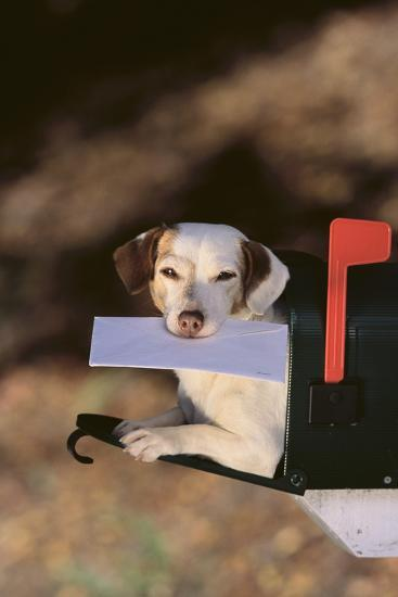 Jack Russell Terrier Fetching the Mail-DLILLC-Photographic Print