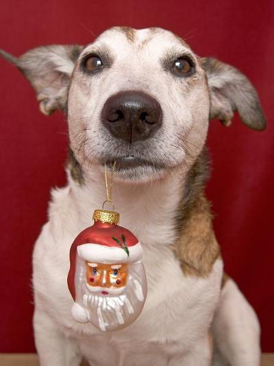 Jack Russell Terrier Holding Christmas Ornament-Ursula Klawitter-Photographic Print