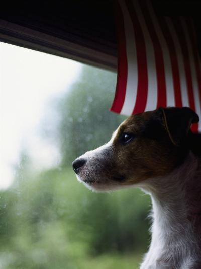 Jack Russell Terrier Near Window with American Flag-Jim Corwin-Photographic Print