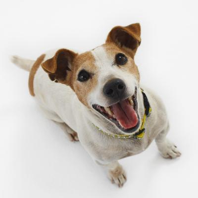 Jack Russell Terrier Panting-Russell Glenister-Photographic Print