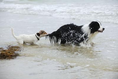 Jack Russell Terrier Pulling on Border Collies Tail--Photographic Print
