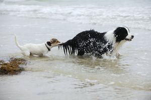 Jack Russell Terrier Pulling on Border Collies Tail