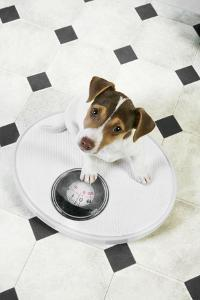 Jack Russell Terrier Puppy on Bathroom Scales