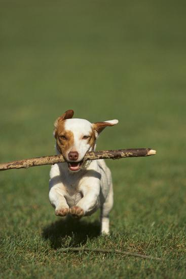 Jack Russell Terrier Running with a Stick-DLILLC-Photographic Print