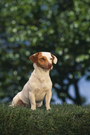 https://imgc.artprintimages.com/img/print/jack-russell-terrier-sitting-in-grass_u-l-pzr3ib0.jpg?p=0