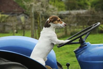 Jack Russell Terrier Sitting on Tractor--Photographic Print