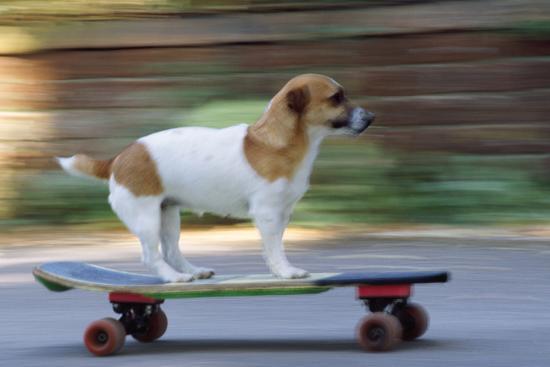Jack Russell Terrier Skateboarding--Photographic Print