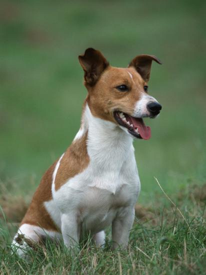 Jack Russell Terrier-Petra Wegner-Photographic Print