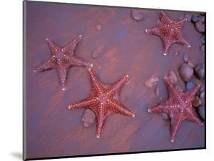 Sea Stars on Red Sandy Beach, Rabida Island, Galapagos Islands, Ecuador by Jack Stein Grove