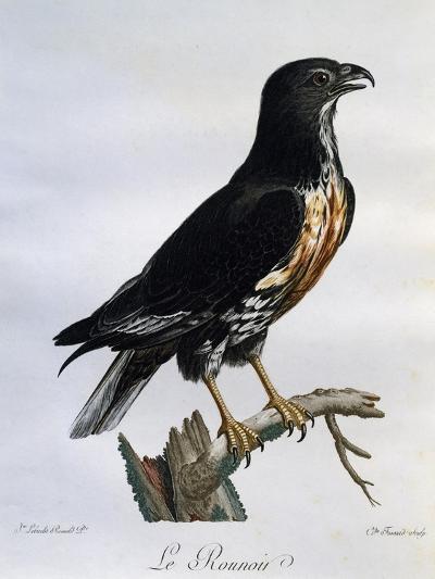 Jackal Buzzard (Buteo Rufofuscus)--Giclee Print