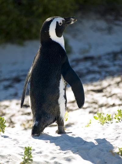 Jackass Penguin on the Beach in South Africa-Stacy Gold-Photographic Print