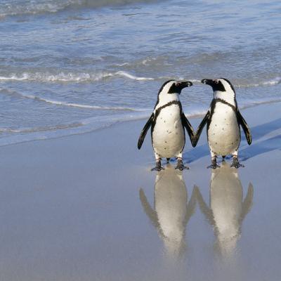 Jackass Penguin Pair--Photographic Print