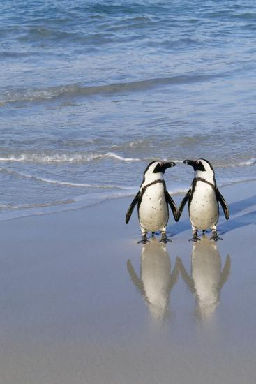 Jackass Penguin Two on Beach--Photographic Print