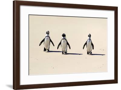 Jackass Penguin-Tier Und Naturfotografie J und C Sohns-Framed Photographic Print