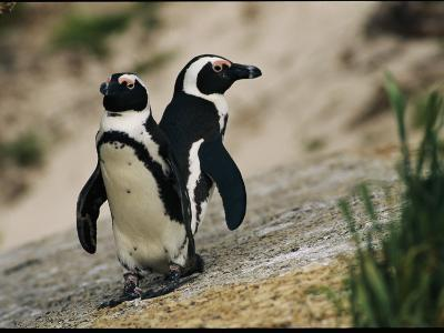 Jackass Penguins Standing Together on a Rock--Photographic Print