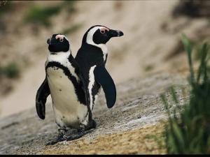 Jackass Penguins Standing Together on a Rock
