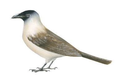 Jackdaw (Corvus Monedula), Birds-Encyclopaedia Britannica-Art Print