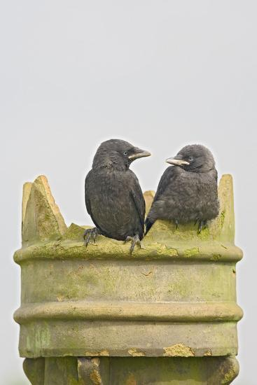 Jackdaw, Youngsters on Chimney Pot--Photographic Print