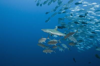 Jackfish School (Caranx-Reinhard Dirscherl-Photographic Print
