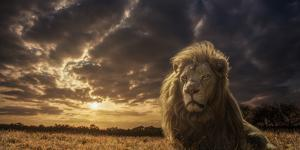 Adventures on Savannah - the Lion King by Jackson Carvalho