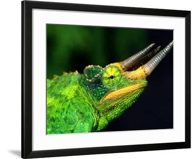 Jackson's Chameleon, Native to Eastern Africa-David Northcott-Framed Photographic Print