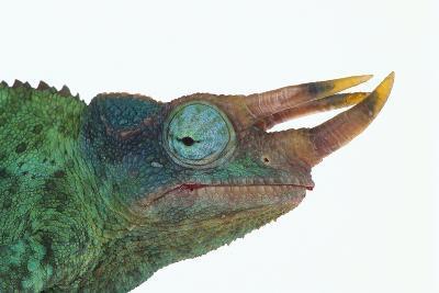 Jackson's Chameleon-DLILLC-Photographic Print