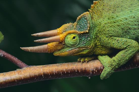 Jackson's Chameleon' Photographic Print - DLILLC | Art.com