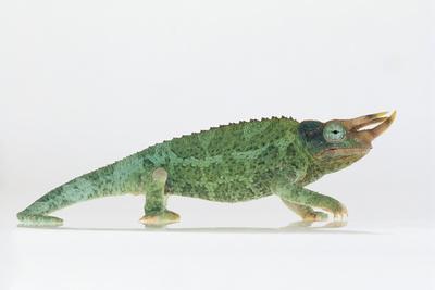 https://imgc.artprintimages.com/img/print/jackson-s-chameleon_u-l-pzrqkm0.jpg?p=0