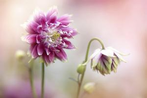 Aquilegia flowers by Jacky Parker