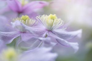 Clematis 'Mayleen' by Jacky Parker