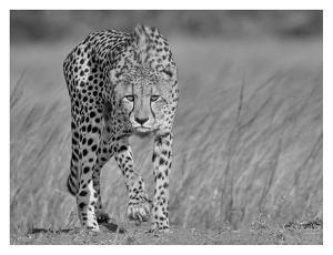 Focused Predator by Jaco Marx