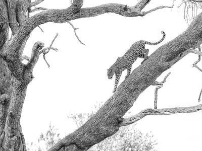 High Key Leopard