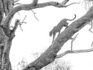 High Key Leopard by Jaco Marx