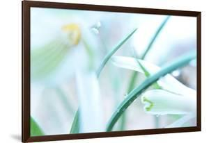 Dewdrops Kissing Snowdrops by Jacob Berghoef