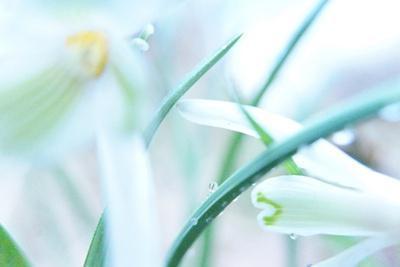Dewdrops Kissing Snowdrops