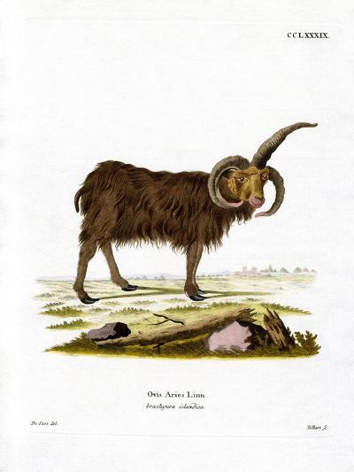 Jacob Sheep--Giclee Print