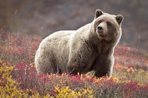 Curious Bear by Jacob W. Frank