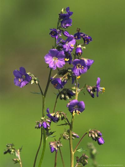 Jacobs-Ladder, Close-up of Flowers, June, UK-Mark Hamblin-Photographic Print