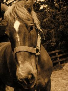 Close-up of Horse, Dry Creek Valley, CA by Jacque Denzer Parker