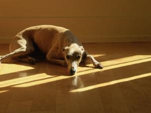 Whippet by Jacque Denzer Parker