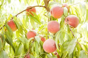 Peaches Growing in Tree by Jacqueline Veissid