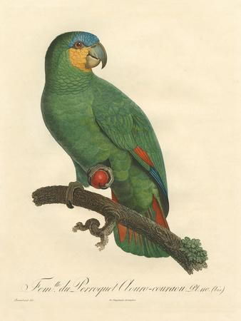 Barraband Parrot No. 110